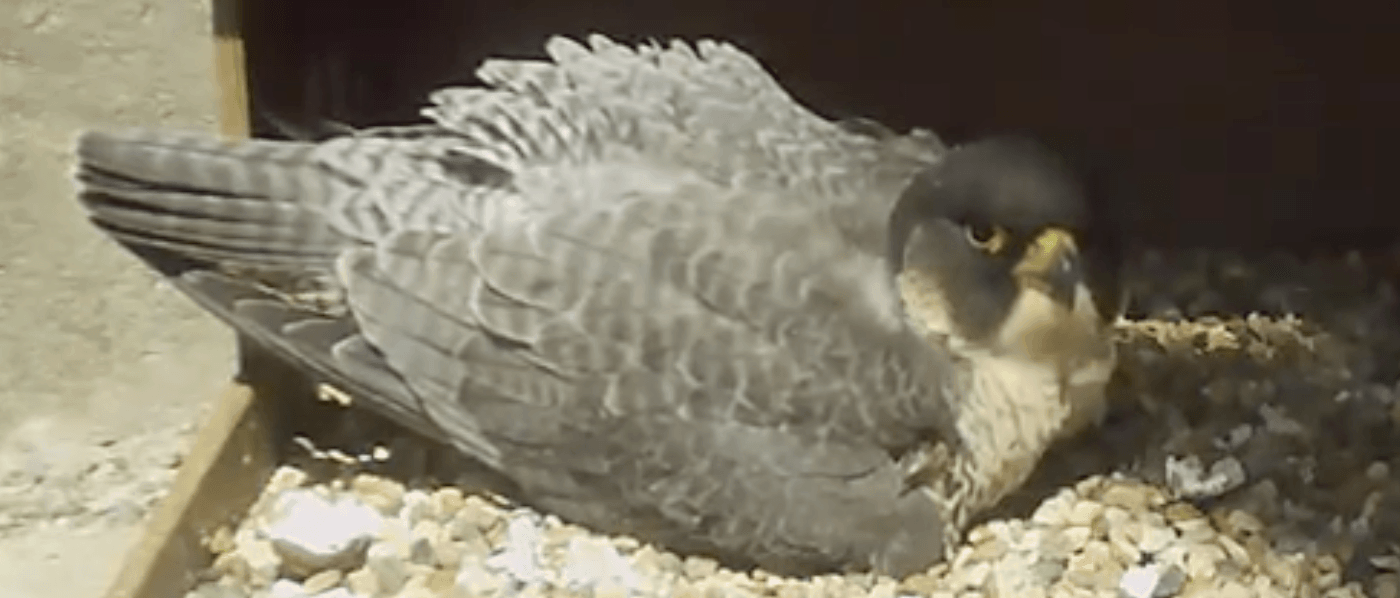 Peregrine Falcon Webcam Cathedral