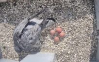 image from Peregrines are still hatching