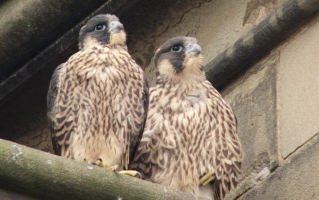 Cathedral peregrines - live webcam links