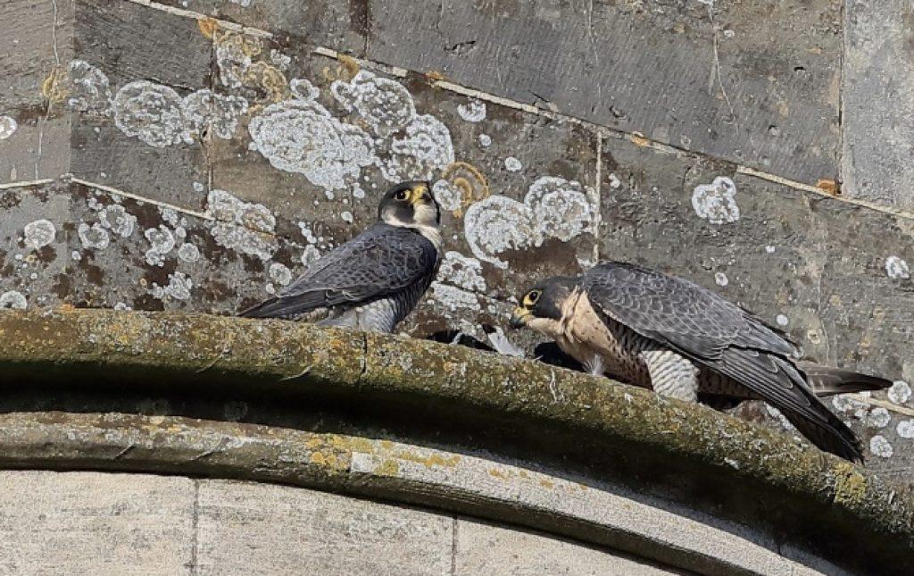 Chichester Peregrine Falcon Eggs